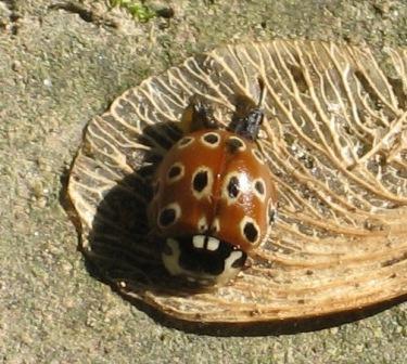 Eye-spotted Ladybug